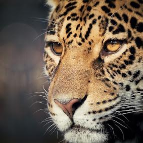 Look of the Big Cat by Jiri Cetkovsky - Animals Lions, Tigers & Big Cats ( cat, zoo, big, leopard, animal )