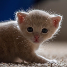 Cutie pie by Andrew Jouffray - Animals - Cats Kittens