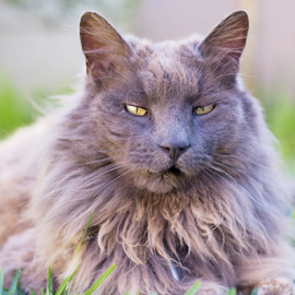 Fluffy  by Jacquiline Van Ghent - Animals - Cats Portraits ( forest cat, cat, fluffy, maine coon, grey, garden, portrait, eyes,  )