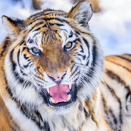 Tiger by John Sinclair - Animals Lions, Tigers & Big Cats ( nature, tiger, bigcats, wildlife )