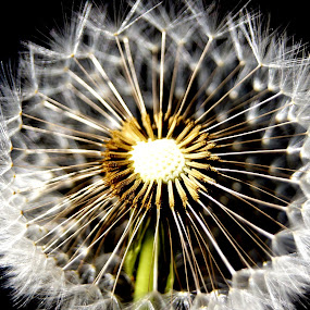 Dandelion Fluff by Carleen Corrie - Nature Up Close Other plants ( plant, macro, dandelion, nature, weed )