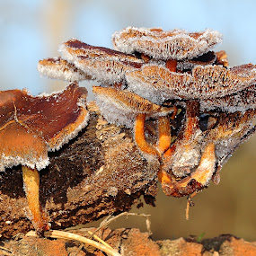 Congelés by Gérard CHATENET - Nature Up Close Mushrooms & Fungi
