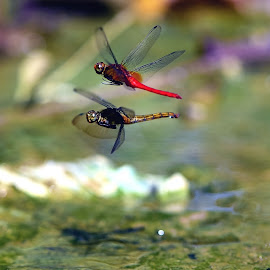 DragonFlies-Romantic on the Air by Wartono - - Animals Insects & Spiders ( macro insect, freezing photograpy, nature insect, nature photography, nature close up, freezing, dragonfly, dragonflies )