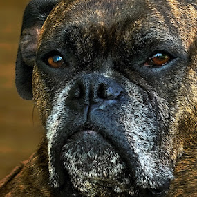 by Patrick Hayes - Animals - Dogs Portraits ( hayes, pittsburgh, boxer, brindle, patrick, dog )