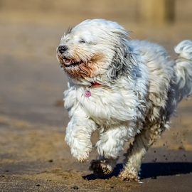 Dog running on beach by Michael  Conrad - Animals - Dogs Running ( sand, beach, dog, running, mammal, coast,  )