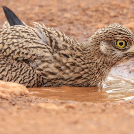 Dikkop bird by Dirk Luus - Animals Birds ( bird, dikkop, nature, bath, animal )
