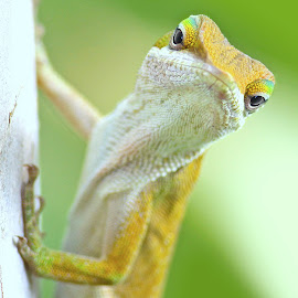 Green Anole by Glenn Giroir - Animals Reptiles