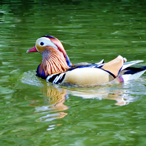 Skittles by Keri Butcher - Novices Only Wildlife ( england, water fowl, london, regent's park, canal, birds )