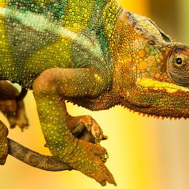 Pantherchamäleon (Furcifer pardalis) by Winfried Rusch - Animals Reptiles ( terrazoo rheinberg 2017, madagaskar, afrika, furcifer pardalis, natur, tier, chamäleon )