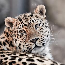 Cheeta by Amol Polke - Animals Lions, Tigers & Big Cats ( big cat, wild animal, cheetah, nice, wildlife )