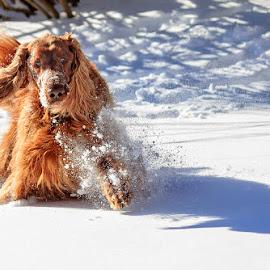 Poop? I can barely WALK! by Ann J. Sagel - Animals - Dogs Playing ( ann j. sagel, irish setter, phantom, dog )