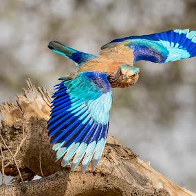 Indian Roller by Sanjeev Goyal - Animals Birds ( nikon, bird in flight, indian roller, bird, animal, wild, roller, wildlife )