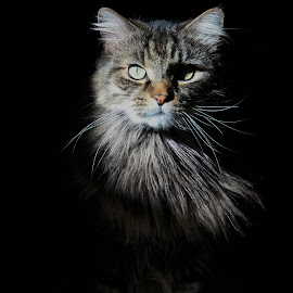 Jas by Chris S - Animals - Cats Portraits ( cat, cat face, intense, photography, portrait )