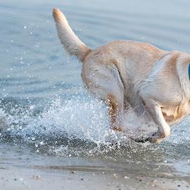 Lexie Run on the beach by Amr Younis - Animals - Dogs Running ( dogs, dubai, beach, running )