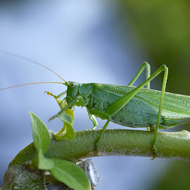 Grasshopper by Michaela Firešová - Animals Insects & Spiders ( resting, detail, tree, green, grasshopper )