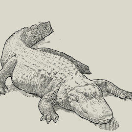 American Aligator by August Rats - Illustration Animals ( stippledrawing, lineart, reptile, croc, aligator, ink )