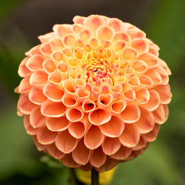 Dahlia 9973 by Raphael RaCcoon - Flowers Single Flower