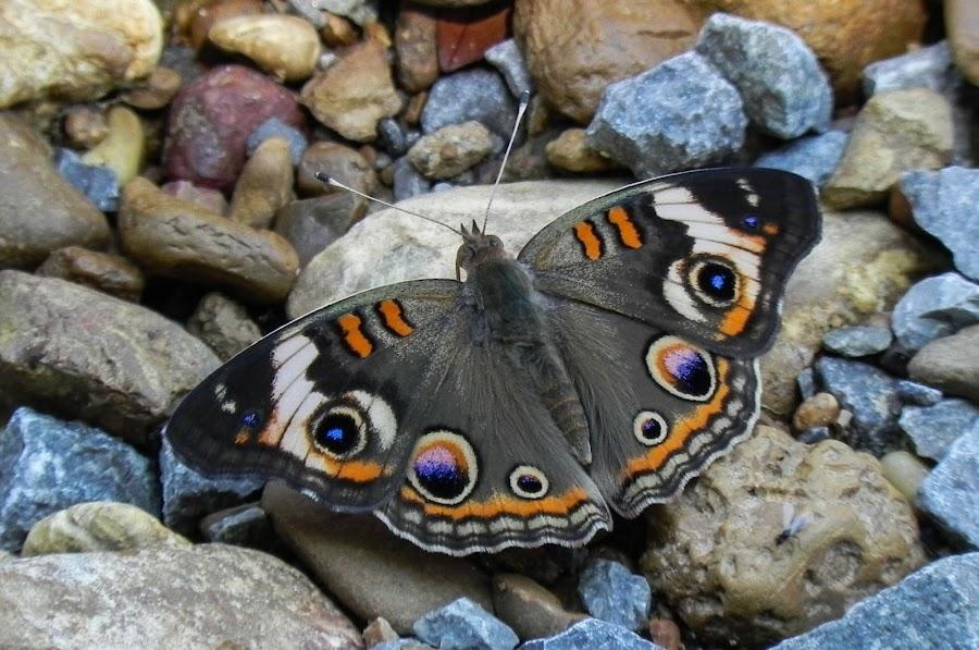 Butterfly  by Amanda Burton - Animals Other ( butterflies, nature, animals )