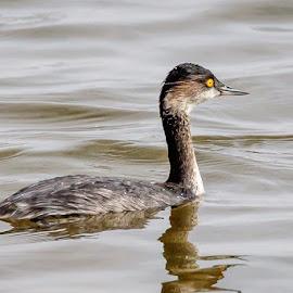 Eared Grebe by Jim Hendrickson - Novices Only Wildlife ( bird, grebe, waterfowl, hackberry flat, wildlife, birds, eared grebe )