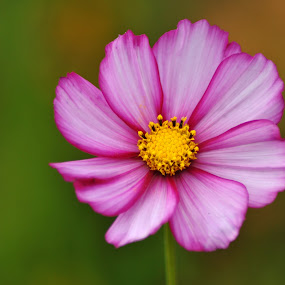 Cosmo sweetness by Paula NoGuerra - Flowers Single Flower ( nature, cosmo, single flower, wildflower, nature close up, flower,  )