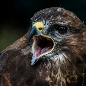 Feed Me Now by Corin Spinks - Animals Birds ( open, european, tongue, beak, buzzard, feathers, eye, close,  )