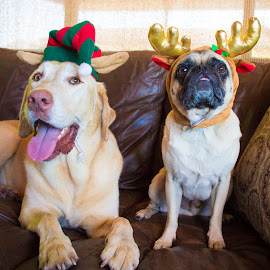 Bros by Meaghan Browning - Animals - Dogs Portraits ( holiday, dogs, christmas, labrador, pug )