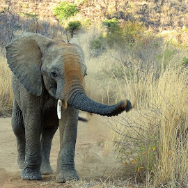 Elephant by Diane Rogers Jones - Novices Only Wildlife