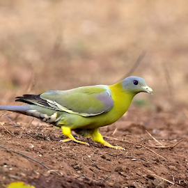 Yellow footed green pegion by Manoj Kulkarni - Animals Birds ( footed, green, nature, bird, yellow, pegion, wildlife )