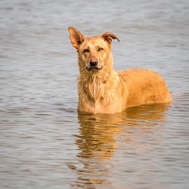 Dog by Dave Lipchen - Animals - Dogs Playing ( lake, dog )