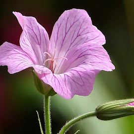 Geranium, Hardy. by Martin Brown - Flowers Flower Gardens ( nature, geranium, lumix, garden, flower,  )