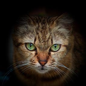 Kimi by Sharulfizam Adam - Animals - Cats Portraits