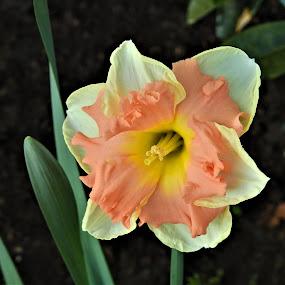 Fancy Daffodil by Carol Leynard - Flowers Single Flower ( fancy, frilled, daffodil, bulb, garden, flower )