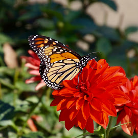 October Monarch butterfly by Lynn Andrasko - Animals Insects & Spiders