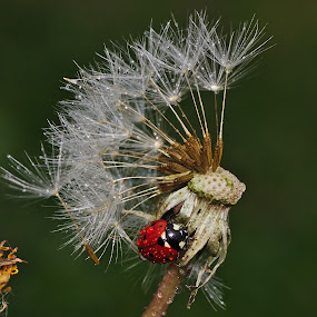 Summer is over... by Giovanni De Bellis - Nature Up Close Flowers - 2011-2013 ( animals, macro, ladybug, insect, flowers,  )