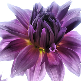 One violet beauty by Julija Moroza Broberg - Instagram & Mobile Android ( colour, macro, color, beautiful, nice, flowers, velvet, flower )