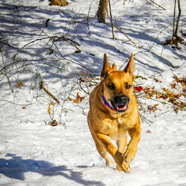 On the Run by Myra Brizendine Wilson - Animals - Dogs Running ( canine, belgian malinois, dogs, belgian shepherd, aero, pet, pets, snow, brown dog, trees, dog, malinois, snow on trees, trees with snow )