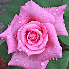 by Heidi George - Flowers Single Flower (  )