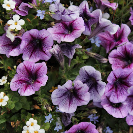 Purple Petunia by Karen Carter Goforth - Uncategorized All Uncategorized ( purple, petunia, flowers,  )