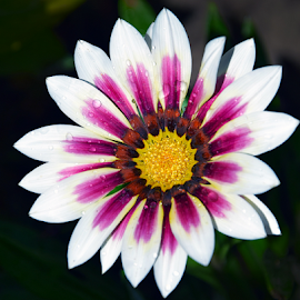 beautiful gazania by LADOCKi Elvira - Flowers Single Flower