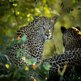 Tag team by Jaideep Abraham - Animals Lions, Tigers & Big Cats ( cats, maasai mara, mother, kenya, africa, leopard, daugter )