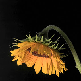 Sunflower by Cristobal Garciaferro Rubio - Digital Art Things ( peta, petals, green, sunflower, yellow, flowers, flower )