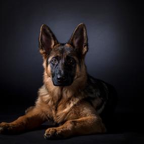 German shepherd  by 'Monique Smit - Animals - Dogs Portraits ( german sheperd, dog, animal )