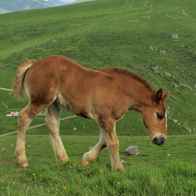 Curious by Lyn Simuns - Animals Horses ( horse, pyrenees mountains, france, colt,  )