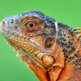 by Paulus Tino - Animals Reptiles