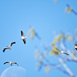 white pelicans over the morning moon by Rita Flohr - Novices Only Wildlife ( moon, nature, white, white pelicans, birds, bokeh, pelican, birds in flight )