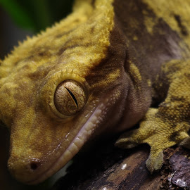 Female Crested Gecko by Gareth Dickin - Animals Reptiles ( wood, scales, feet, lashes, reptile, eye )