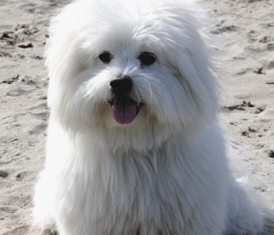 Bailey @ the Beach by Jeannette Thalmann-Bendeth - Animals - Dogs Portraits ( bailey, beach, coton de tulear, dog,  )