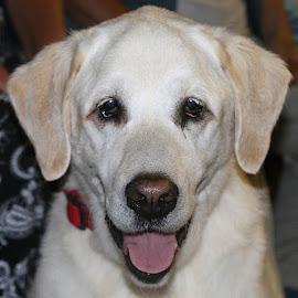 Harvey by Chrissie Barrow - Animals - Dogs Portraits ( smooth, tongue, sad, male, cream, portrait, eyes, labrador retriever, pet, ears, fur, dog, nose, golden )