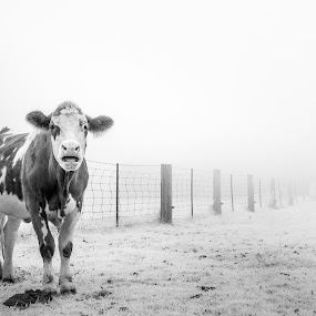 Thick Foggy Morning   by Frederic Rivollier - Animals Other ( farm, fence, dreamy, black and white, fog, bw, cow, morning )