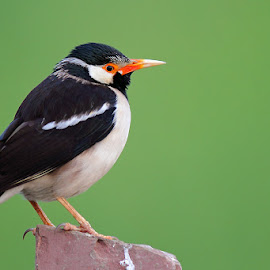 Asian Pied Starling by Devki Nandan - Animals Birds